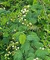 River Climbing Thorn (Acacia schweinfurthii) (11545830196).jpg