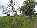 Roadside trees near Llanwnog - geograph.org.uk - 561754.jpg