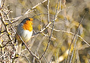 English: Robin in song - Nash Point .. and now...