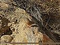 Rock Bunting (Emberiza cia) (15709263817).jpg