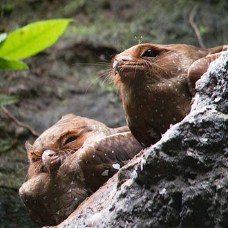 Oilbird - Oilbirds roosting on a more open ledge in Ecuador