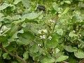 Rorippa nasturtium-aquaticum (Nasturtium officinale) (5002421537).jpg