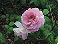 Rosa 'Princess Alexandra of Kent' kz01.jpg
