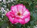 Rosa Handel 2018-07-10 5959.jpg