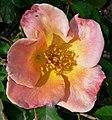 Rosa Irish Elegance 2.jpg