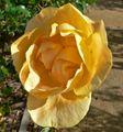 Rosa Lady Forteviot 2.jpg