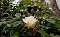 Rosa chinensis in Yerevan 05.jpg