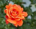 Rosa cultivar-IMG 0706.jpg