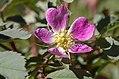 Rosa glauca inflorescence (23).jpg
