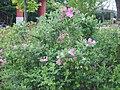 Rosa rugosa, Bupyung, Korea 01.jpg