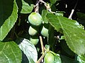 Rosales - Prunus domestica - 6.jpg
