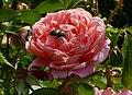 Rosarium Baden Rosa 'Colette' Meilland 1995.jpg