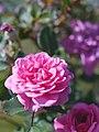 Rose,Letchworth Centenary,バラ,レッチワース センテナリー, (8182381397).jpg