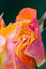 Rose, Spectra - Flickr - nekonomania.jpg