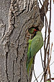Rose-ringed Parakeet (Psittacula krameri) feeding its chicks.jpg