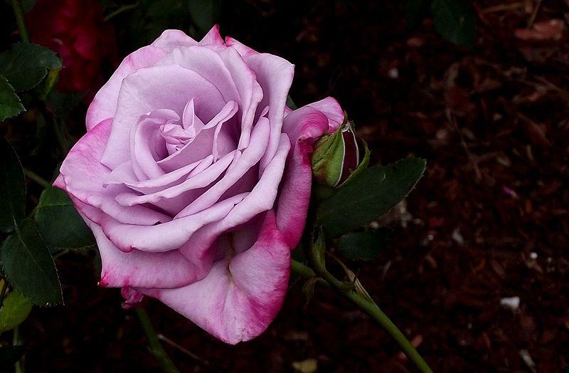 File:Rose DSCF5359.jpg