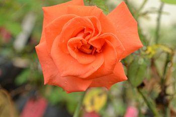Rose Flower (Orange).jpg