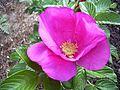 Rose rosa rugosa pink.jpg