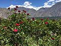 Roses at Gilgit.jpg