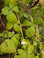 Rubus caesius, Rubiaceae 03.jpg