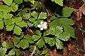 Rubus pedatus 1370.JPG