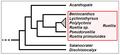 Ruelliinae - Cladogramma della sottotribù.png