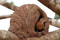 Rufous hornero (Red ovenbird)(Furnarius rufus) and nest (2).JPG