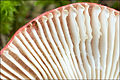 Russula emetica 61171.jpg
