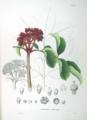 Rutaceae sp SZ21.png