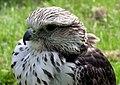 Saker falcon closeup arp.jpg