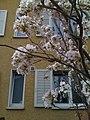 Sakura - panoramio (1).jpg