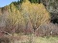 Salix fragilis (5027147681).jpg