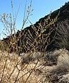 Salix lasiolepis 1.jpg