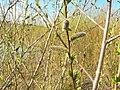 Salix purpurea 001.jpg