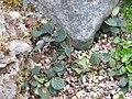 Salix reticulata - General View 1.JPG