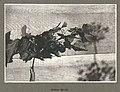 Salmonberries, Alaska, July 1899 (HARRIMAN 244).jpg