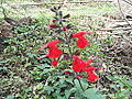 Salvia coccinea-flower-yercaud-salem-India.JPG