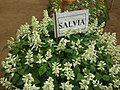 Salvia from Lalbagh flower show Aug 2013 7958.JPG