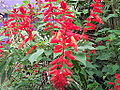 Salvia splendens-xavier cottage-yercaud-salem-India.JPG