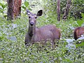Sambar deer female.jpg