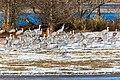 Sandhill crane (32094830524).jpg