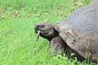 Santa Cruz giant tortoise 05.jpg