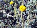 Santolina rosmarinifolia subsp. canescens FlowersCloseup SierraNevada.jpg