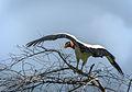 Sarcoramphus papa, Bahia, Brazil 1.jpg