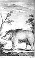 Sardinian pig, from Cetti 1774.jpg