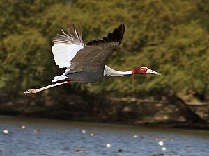 Sarus crane - In flight, the black primaries contrast with the otherwise grey wings (Bharatpur, India).