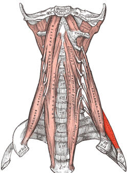 Scalenus posterior.png