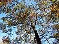 Scarlet Oak (30873593705).jpg