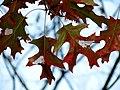Scarlet Oak (31075538905).jpg