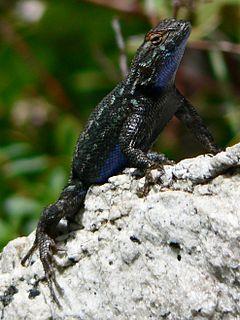 Western fence lizard Species of lizard